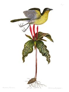 Mark Catesby, Yellow Breasted Chat. Sessile Trillium. Natural History of Carolina, Florida and The Bahama Islands - Volume 1, Plate 50 (1731)
