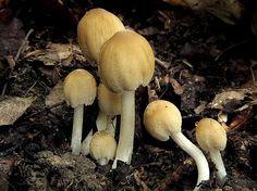 Nahuby.sk - Fotografia - hnojník okrový Coprinellus domesticus (Bolton) Vilgalys, Hopple & Jacq. Johnson