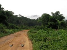 Liberia's visual landscapes include vast rural areas filled with abundantly growing vegetation. Many trees and plants growing all around the country. This image depicts one of the many roads there are in Liberia, surrounded by wildlife on each side.