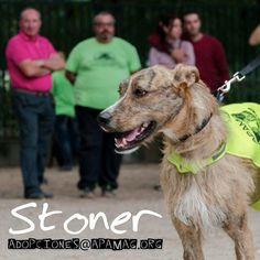 Stoner es un supercachorrete , bueno energetico. Necesita su hogar, lleva mucho en acogida. Si quieres adoptarle escribe a #adopciones@apamag.org