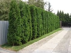 Privacy Hedge - Thuja Occidentalis 'Smaragd' (also Esmerald Green Thuja) Timanttituija - Stands heavy cutting, but grows into nice shape without trimming as well. Arborvitae Landscaping, Privacy Landscaping, Backyard Privacy, Outdoor Landscaping, Front Yard Landscaping, Landscaping Rocks, Luxury Landscaping, Privacy Trees, Privacy Plants