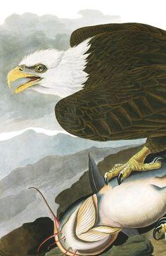 White-headed Eagle | John James Audubon's Birds of America