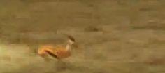 Elle court, elle court… Et paf la gazelle.