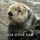 Links to LIVE Cameras at M. B. Aquarium: Sea Otter Cam, Kelp Cam, Penguin Cam, Open Sea Cam, Bird Cam, and Monterey Bay Cam