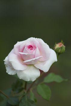 {Pink Blumen}