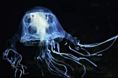 "HowStuffWorks ""Mysterious Marine Animal Pictures""~Box jellyfish"