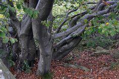 Madeiras Faiallo em La Cappelletta di Masone, província de Gênova, região da Ligúria, Itália. Fotografia: Paola.bottoni no Flickr.