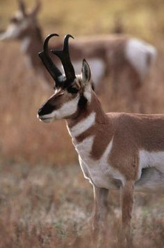 Google Image Result for http://www.all-creatures.org/aw/pronghorn-002.jpg
