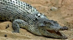 real crocodile - Google Search