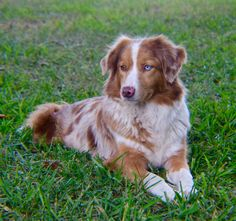 Australian Shepherd Scattered Oaks Ranch Home of Silver Streak Aussies Sweet Sally Red Merle