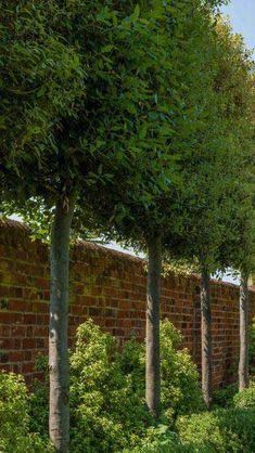 Fascinating Evergreen Pleached Trees for Outdoor Landscaping 81 – Modern Evergreen Trees For Privacy, Hedge Trees, Privacy Trees, Garden Privacy, Garden Trees, Evergreen Trees Landscaping, Patio Privacy Screen, Driveway Landscaping, Outdoor Landscaping