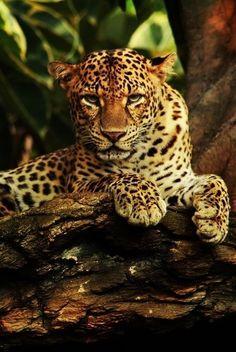 Javanese Leopard by Radu Frentiu on 500px