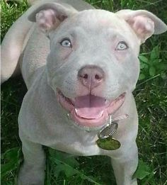 Beautiful pitbull puppy ❤️ I love this color breeding 🐕 I want this dog! I need a pitbull friend so bad 😍 Amstaff Terrier, Pitbull Terrier, Dogs Pitbull, Terrier Dogs, Cute Puppies, Cute Dogs, Dogs And Puppies, Doggies, Beautiful Dogs