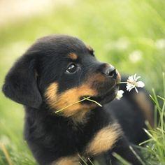 ¡Adorable cachorrito de rottweiler! #rottweiler #cachorro #animalitos #bebes #perrosadorables