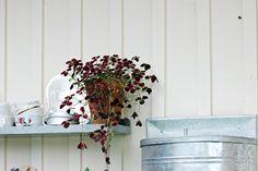 Oravankesäpesä | Apila Trifolium repens