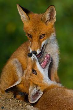 Nature Animals, Animals And Pets, Baby Animals, Funny Animals, Cute Animals, Beautiful Creatures, Animals Beautiful, Fuchs Baby, Fantastic Fox
