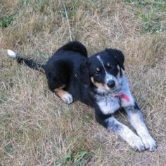 Border Collie cross - Nanaimo Dogs & Puppies For Sale - Kijiji Nanaimo Canada.