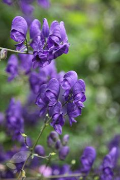 Monkshood (Aconite) also known as wolfsbane. A pretty fall bloomer for your garden  of witchery. A classic witches garden plant. It is highly toxic so be warned.