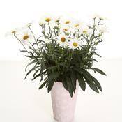 Daisy May® - Shasta Daisy - Leucanthemum | Proven Winners