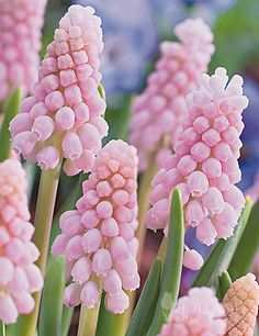 Pink Sunrise Muscari is a rare beauty bestowed with light pink fragrant blooms in Mid-Spring. This deer resistant ground cover bulb looks great planted with blue, white and light blue muscari.