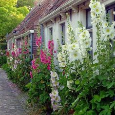 Image result for cape cod houses with hollyhoke flowers