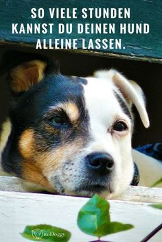 Wie Viele Stunden Kann Man Einen Hund Eigentlich Allein Lassen Teil I Midoggy Community Hunde Hunde Erziehen Haustiere