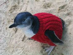 The Penguin Foundation on Phillip Island in Victoria saves the lives of penguins - by putting them in jumpers.
