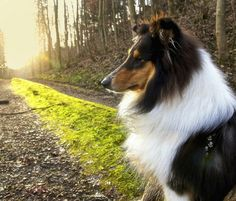 The Tri-color is the most beautiful and the rarest of the rough collies.