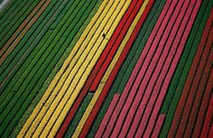 pays bas champs de tulipes colores 31   15 photos dincroyables champs de tulipes colorés   tulipe photo image hollande fleur couleur champ