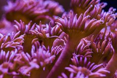 Hammer coral corals rainbow of colors under the sea pinterest this flower pot coral goniopora sp looks so pretty ocean corals marinelife mightylinksfo