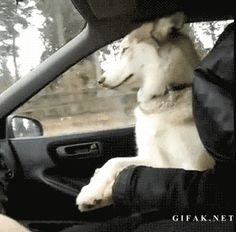 Husky has to hold hands during car ride!