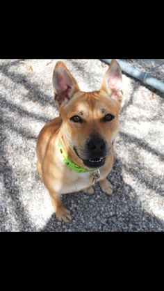 Hi, I'm Athena and I recently recovered from a broken femur. I came from a home with children and did just fine with them.  I get along well with most dogs but am a little insecure when I am first meeting them as well as new people-I like to bark at them! I love car rides and love playing with toys, although not all toys suit me because I am such a strong chewer.  Our dog trainer just started to work on my leash manners and other commands.