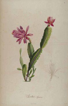 57565 Disocactus speciosus (Cav.) Barthlott [as Cactus speciosus Bonpl.] / Bonpland, A., Description des plantes rares cultivées à Malmaison et à Navarre, t. 3 (1831) [P.J. Redouté]