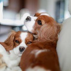 Cutest couple I've ever seen! Cavalier King Spaniel, Cavalier King Charles Dog, King Charles Spaniel, Cute Puppies, Cute Dogs, Dogs And Puppies, Doggies, Cockerspaniel, Spaniel Puppies