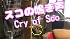 スコティッシュフォールドあいちゃんの鳴き声♥【可愛い子猫おもしろい動画】