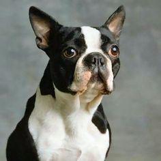Boston Terriers Rock vonnysue