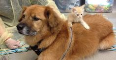 The Arizona Humane Society's Kitten Nursery just hired the cutest nanny to watch over their little ones: a 12-year-old pup named Boots. A chow/golden retriever mix,