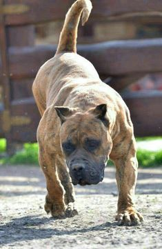 General Information About First Dog Care Chiens Bull Mastiff, Mastiff Dogs, Huge Dogs, Giant Dogs, Mastiff Breeds, Dog Breeds, Cane Corso, Animals And Pets, Funny Animals