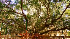Bodhi Tree, Bodhgaya, India, Site of Buddha's enlightenment.