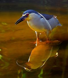 Reflection by Andrew JK Tan. Black-crowned Night Heron (Nycticorax nycticorax)