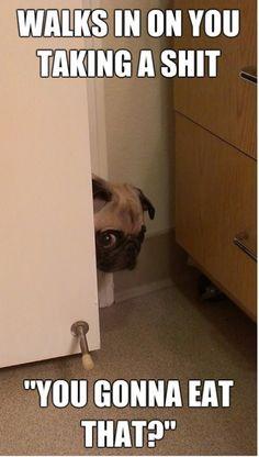 Peeping pug, walks in on you