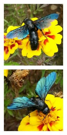 Blue winged wasp. South Africa.
