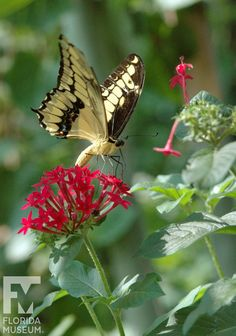 Thoas Swallowtail (Papilio thoas) butterfly in our vivarium, the Florida Museum of Natural History's Butterfly Rainforest exhibit! Butterfly Pupa, Butterfly Kisses, Butterfly Museum, Butterfly Pictures, Photos Of Butterflies, Butterfly Species, Flying Flowers, Moth Caterpillar, Memes Br
