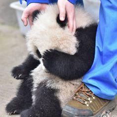 """いいね!21.4千件、コメント410件 ― rippleさん(@pandas_in_china)のInstagramアカウント: 「""""Don't be sad, baby. I'm always with you!"""" * Photo by Weibo ©卧龙大熊猫俱乐部」"""