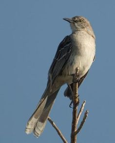 The Bahama Mockingbird was virtually unknown on the most northerly Bahamian islands in the late 1800's, but is now well established on Abaco and on eastern Grand Bahama Island.