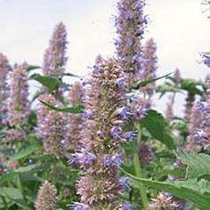 Herb Seeds - Anise Hyssop - 750 Seeds NutsnCones https://www.amazon.co.uk/dp/B00M5UL8QS/ref=cm_sw_r_pi_dp_x_C7pDzbJH4H1C8