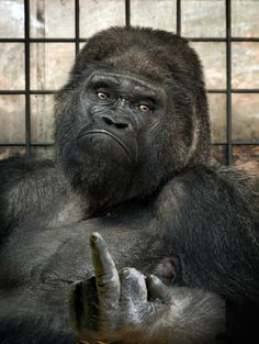 Koko the Gorilla Files Lawsuit Against Bill Maher Over Comparison to Donald Trump Monkey Pictures, Funny Animal Pictures, U2 Music, Motorcycle Humor, Funny Memes, Hilarious, Jokes, Biker Quotes, Twisted Humor