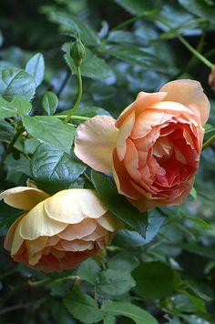 """English Roses, David Austin, Rose, Rose """"Pat Austin"""","""