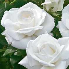 Perfect for a white garden-Sugar Moon Hybrid Tea Rose...on my to-do list for Spring, 2014.