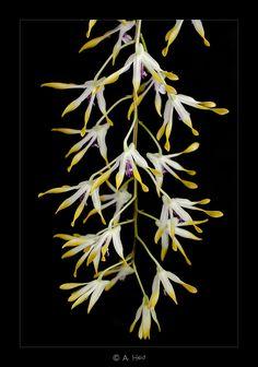 Dendrobium canaliculatum - Flickr - Photo Sharing!